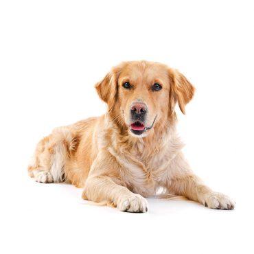 Der Hund – Treuer Begleiter