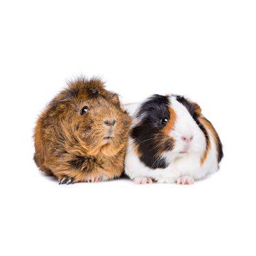 Meerschweinchen – Gesprächige Mitbewohner
