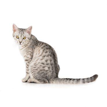 Die Katze – Miniaturtiger für Zuhause